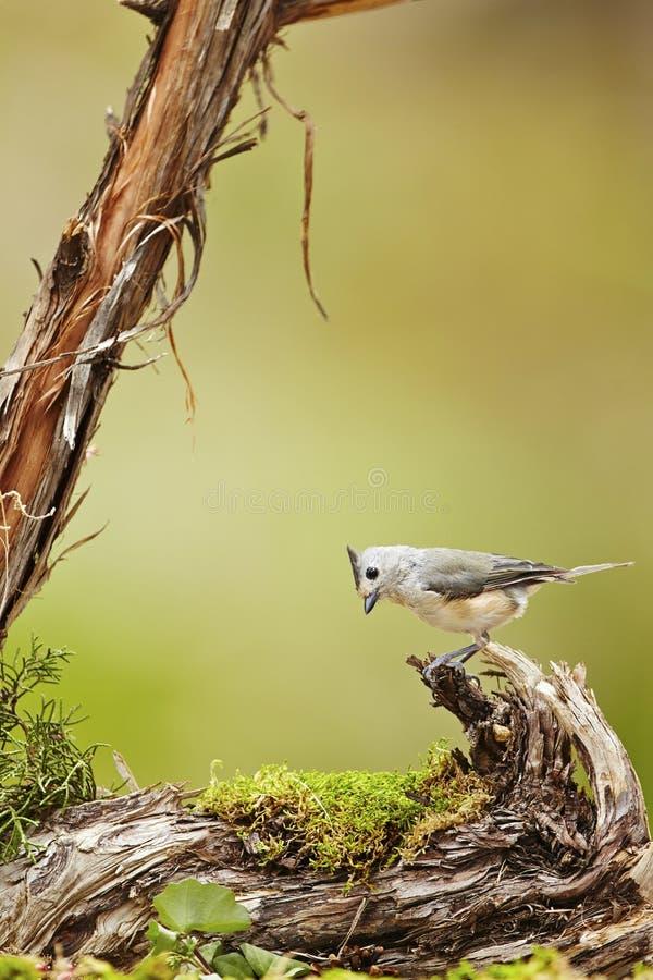 Bird. Tufted titmouse bird stock photography