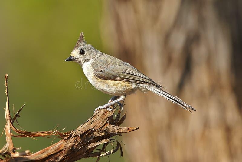 Bird. Tufted titmouse bird stock photo