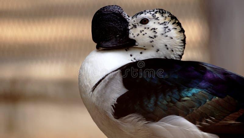 Bird with an unusual beak. Bird with a very unusual beak found at baroda zoo in india royalty free stock image
