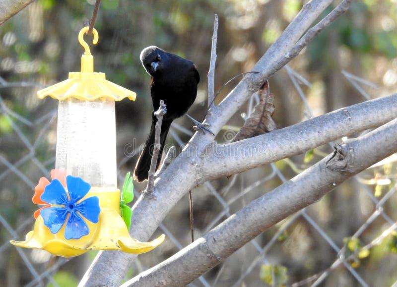 Bird watching water fountain. On autumn tree fauna of cordoba argentina royalty free stock image