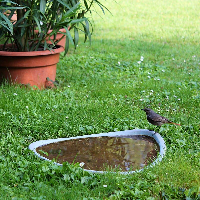 Bird at the water. Black redstart (Phoenicurus ochruros) bird standing at the water in the garden royalty free stock photo