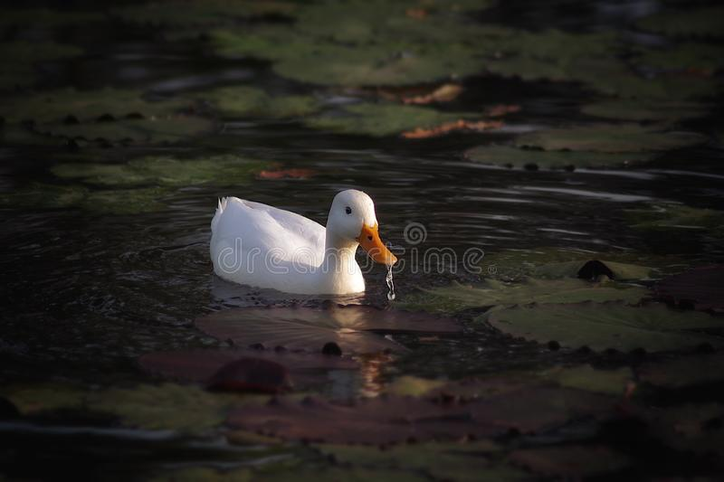 Bird, Water Bird, Duck, Beak stock photo