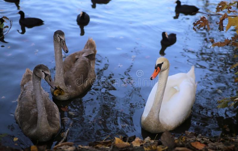 Bird, Water Bird, Duck, Ducks Geese And Swans royalty free stock photo