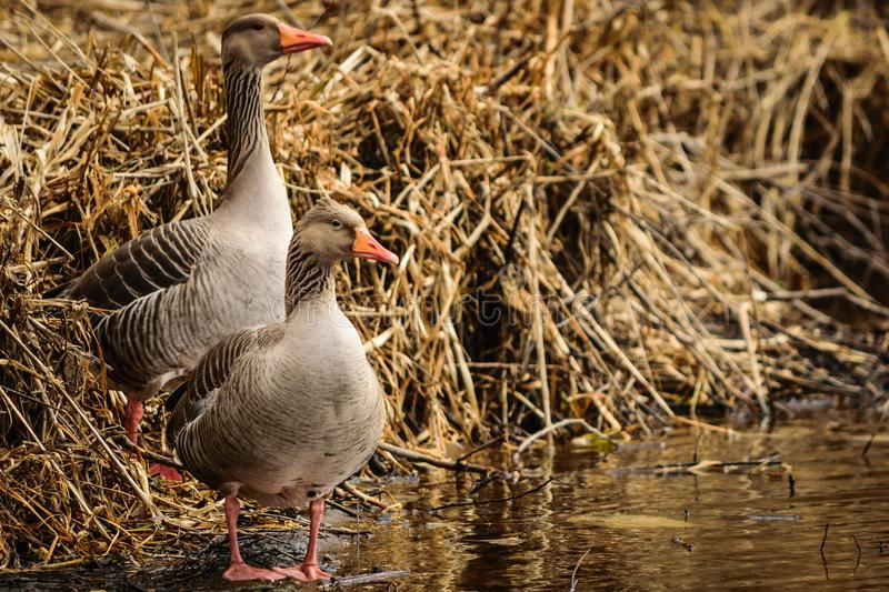 Bird, Water Bird, Duck, Fauna royalty free stock images