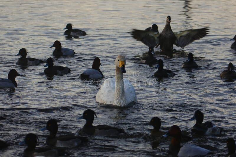 Bird, Water, Duck, Water Bird stock image