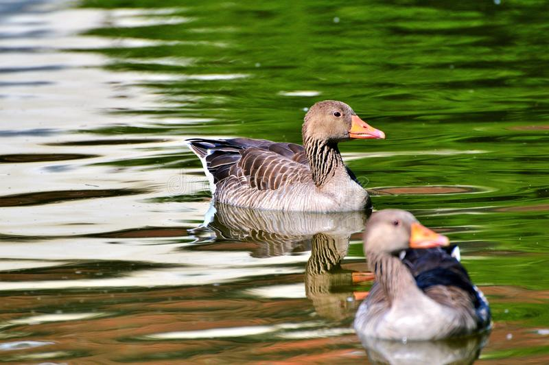 Bird, Water, Duck, Fauna royalty free stock images