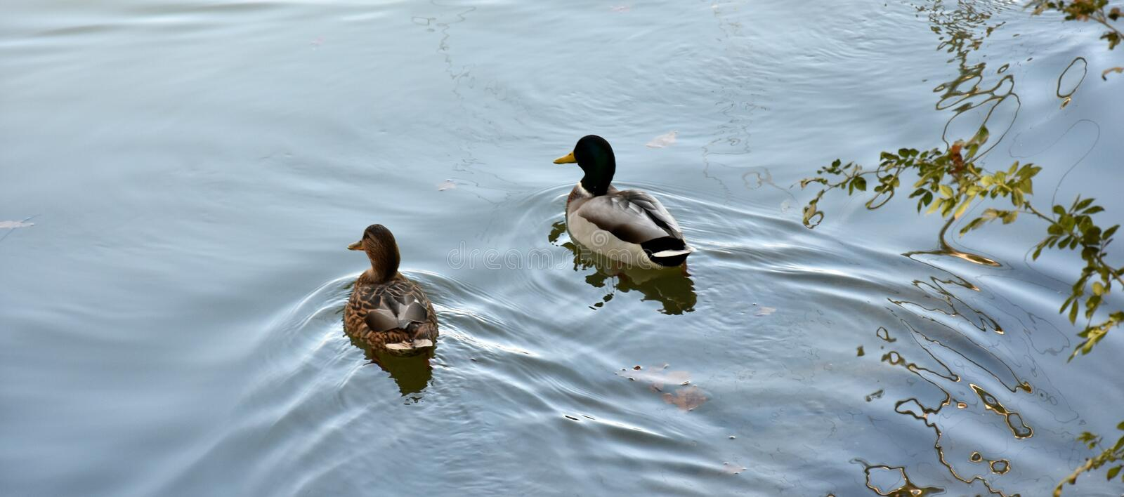 Bird, Water, Duck, Fauna stock images