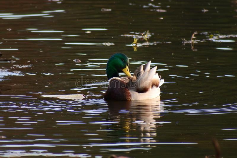 Bird, Water, Duck, Mallard stock photo