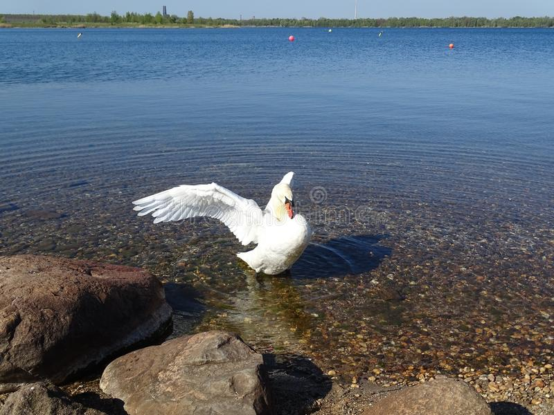 Bird, Water Bird, Water, Fauna stock image