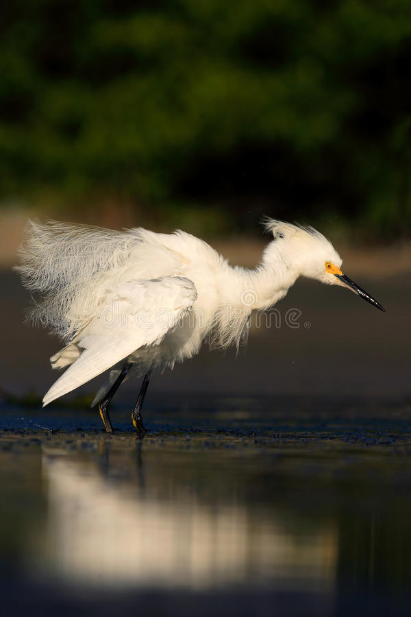 Bird in the water. White heron Snowy Egret, Egretta thula, standing on pebble beach in Florida, USA. Beautiful evening sun in the royalty free stock photo