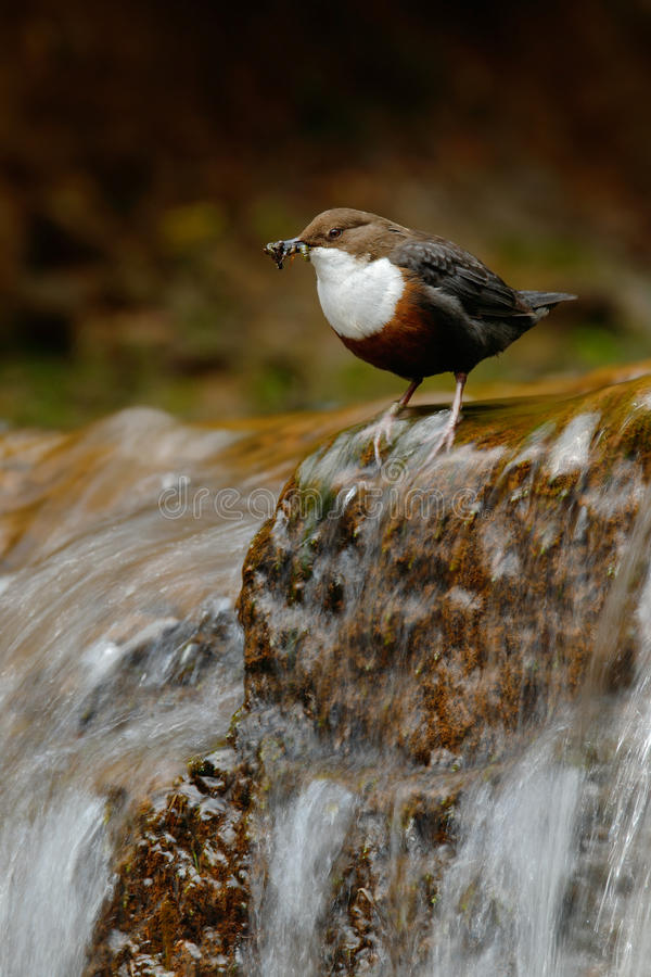 Bird with waterfall. White-throated Dipper, Cinclus cinclus, water diver, brown bird with white throat in river, waterfall in the. Forest stock photo