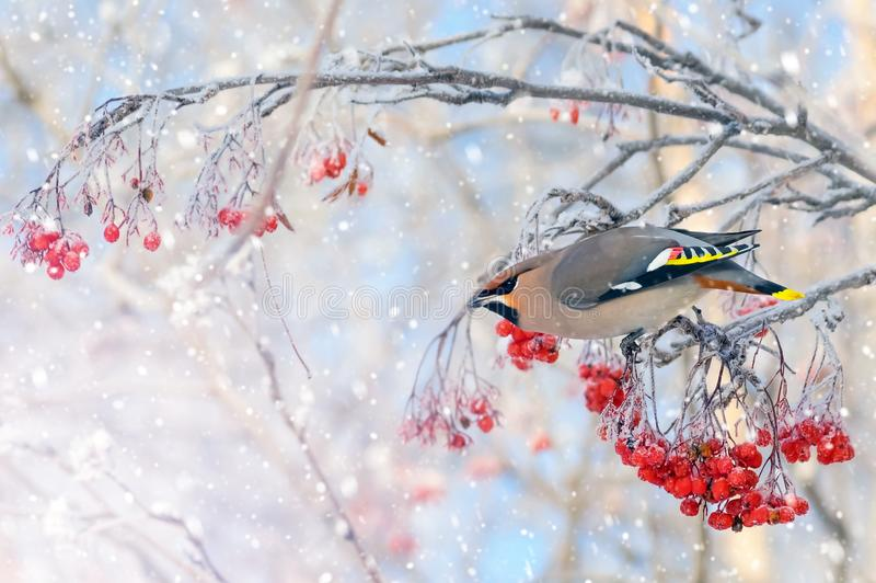 Bird waxing. Background with bird waxing on branch of frozen mountain ash royalty free stock photography