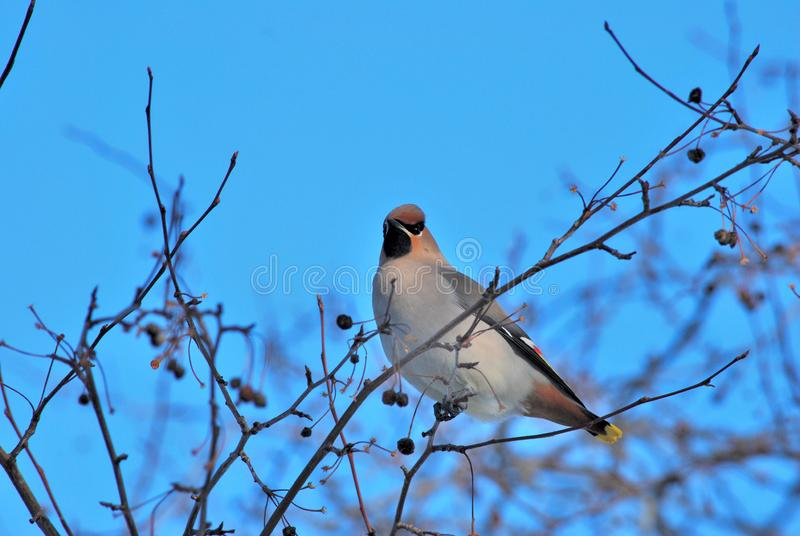 Bird waxwing bulletin spring is coming. Omsk, Russia, Siberia stock photo
