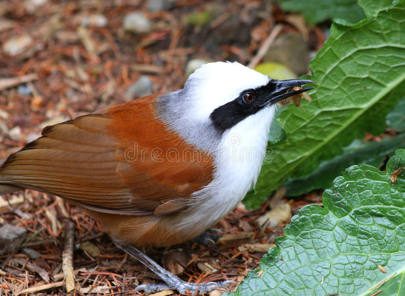 Bird white crested laughing thrush (Garrulax leucolophus). Eating a cricket royalty free stock images