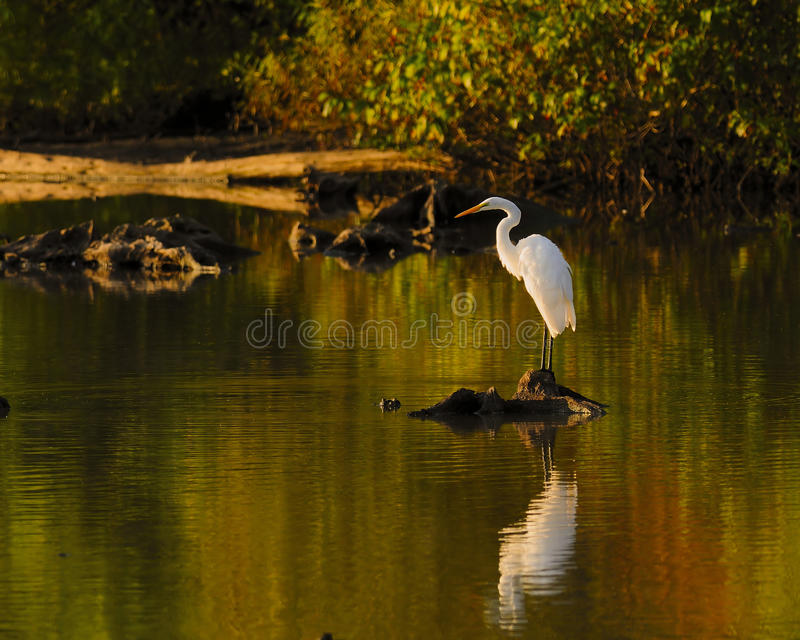 Download Bird White Heron Or Great White Egret Reflections Stock Images - Image: 16119604