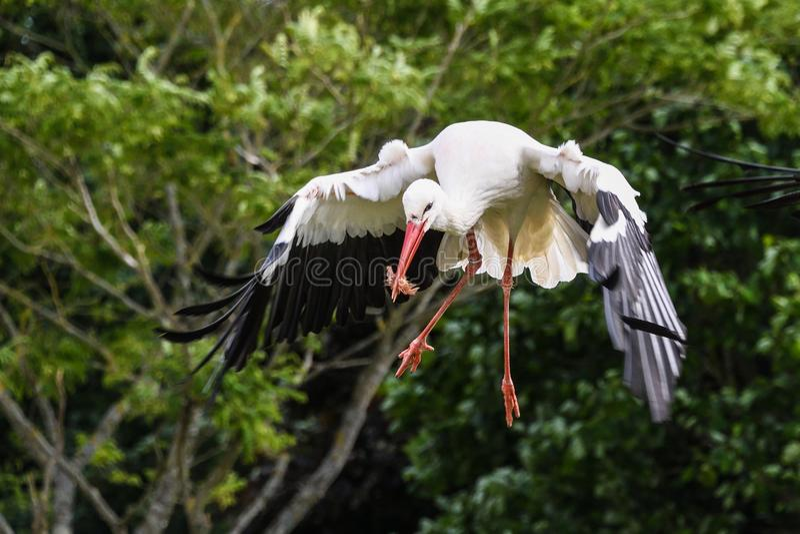 Bird, White Stork, Beak, Stork stock image