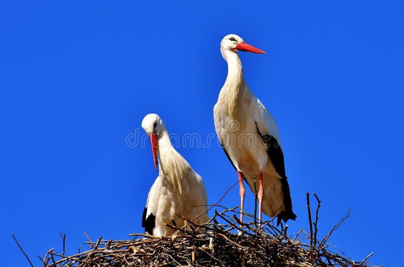 Bird, White Stork, Stork, Beak royalty free stock photo