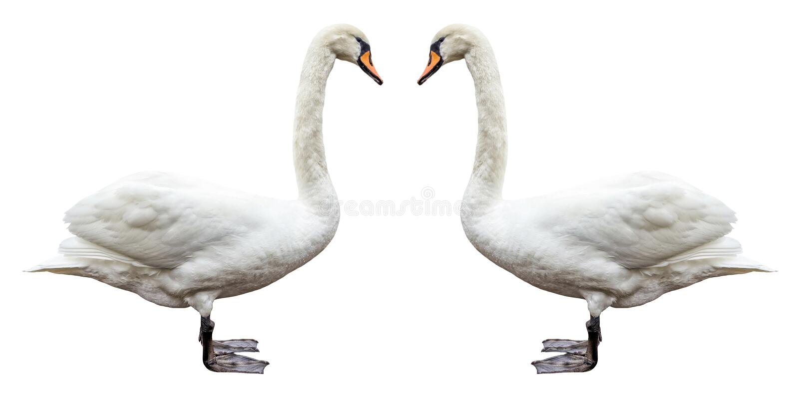 Download Bird White Swan Side View Isolated. Stock Image - Image of brute, beautiful: 91251255