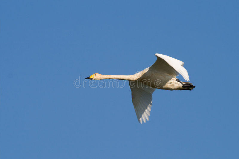 Bird - Whooper Swan royalty free stock photography