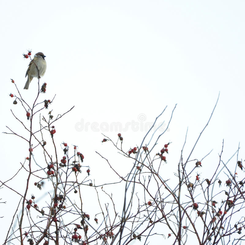 Download Bird On The Wild Rose Bush Stock Photography - Image: 23714532