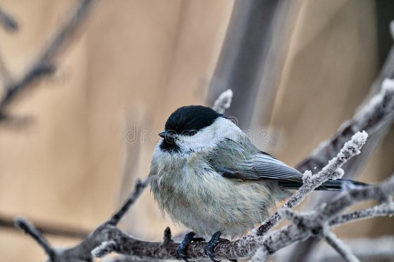 Bird - Willow Tit  Poecile montanus  sitting on a branch of a tree. royalty free stock photo