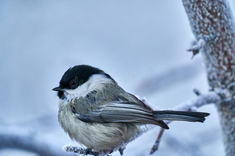 Bird - Willow Tit  Poecile montanus  sitting on a branch of a tree. stock photos