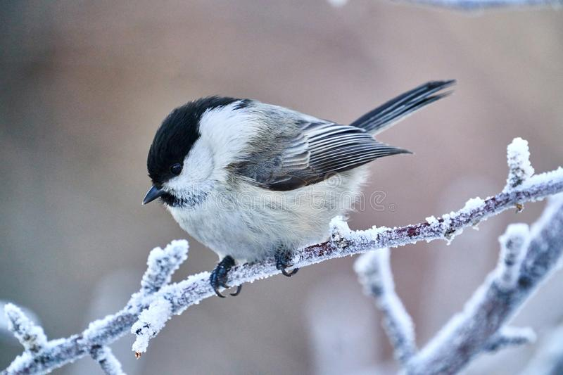 Bird - Willow Tit  Poecile montanus  sitting on a branch of a tree. royalty free stock photos