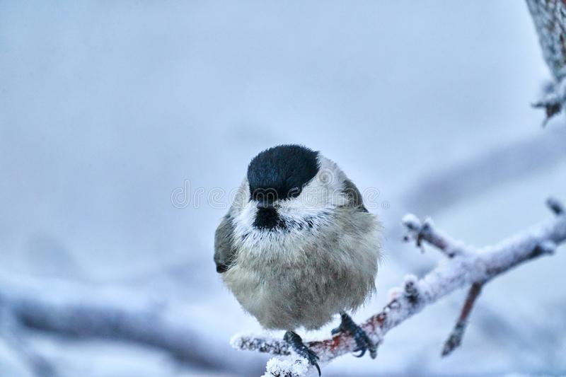 Bird - Willow Tit  Poecile montanus  sitting on a branch of a tree. stock images