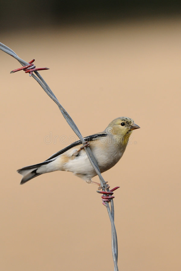 Download Bird on a wire stock image. Image of sisken, outdoors - 8232579