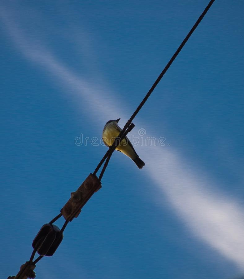 Bird on the wire with background of blue sky and thin white cloud. Photographed from below, a small, yellow-breasted bird perches on an industrial-strength wire royalty free stock photos