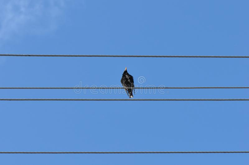 Bird on wire. Cute little little bird on electric wire with blurry background royalty free stock image