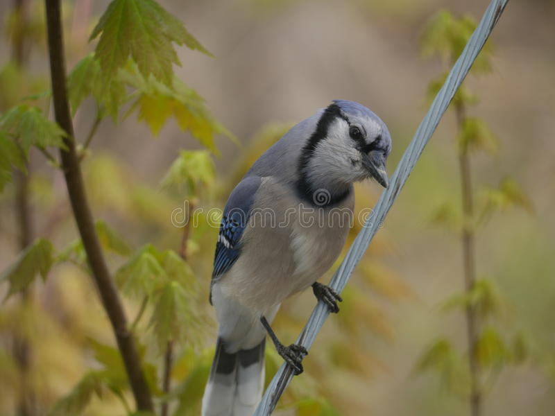 Bird on a wire suave pose by blue jay bird. This blue jay strikes a suave pose for the camera. He is a bird on a wire. Birds nature wildlife Ohio US USA stock photo