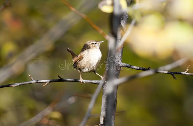 Bird wren. Wren bird sitting on a branch in the forest in sunny weather stock images