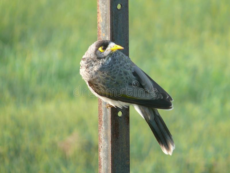 Bird with yellow black eye and yellow beak, on the side of a rusty iron bar. Feather grey, black,. Light and white from below royalty free stock image