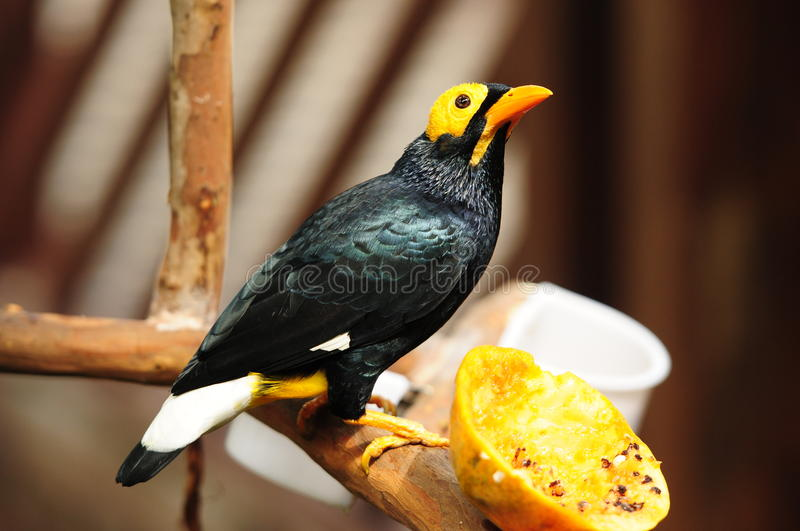 Bird --- yellow-faced Mynah. This mynah is now living in Edward Youde Aviary at Hong Kong Park. the picture shows the bird enjoyed papaya royalty free stock photos