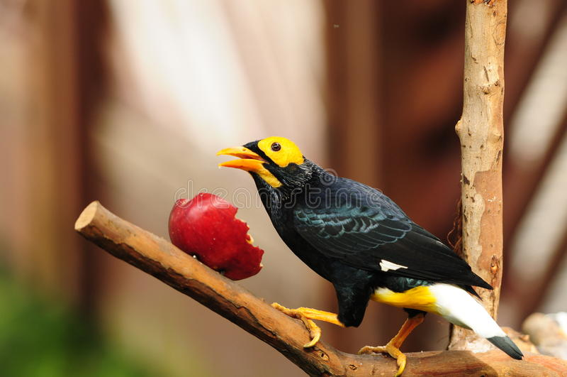 Bird --- yellow-faced Mynah. This mynah is now living in Edward Youde Aviary at Hong Kong Park. the picture shows the bird enjoyed apple royalty free stock photos