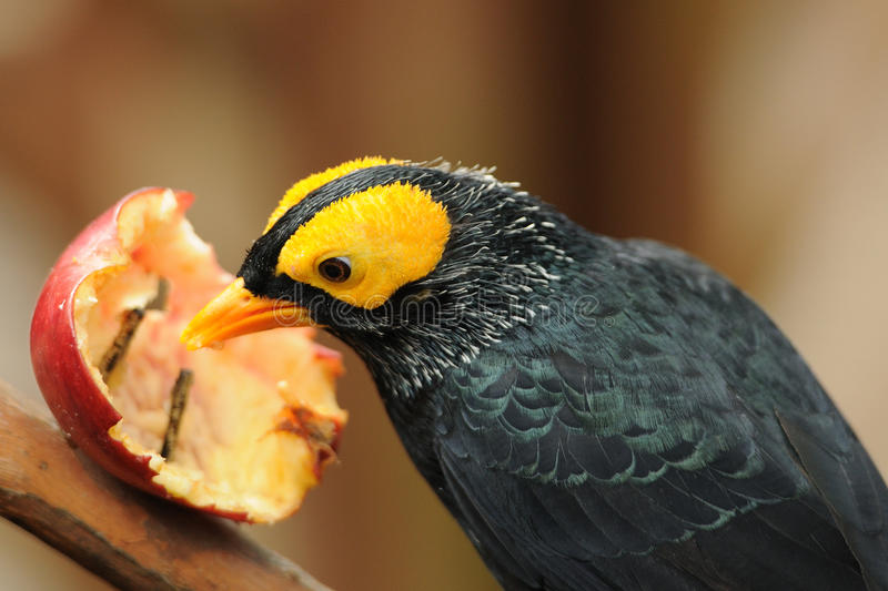 Bird --- yellow-faced Mynah. This mynah is now living in Edward Youde Aviary at Hong Kong Park. the picture shows the bird enjoyed apple royalty free stock images
