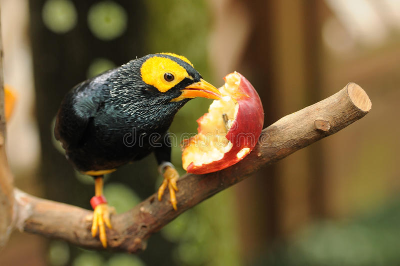 Bird --- yellow-faced Mynah. This mynah is now living in Edward Youde Aviary at Hong Kong Park. the picture shows the bird enjoyed apple stock images