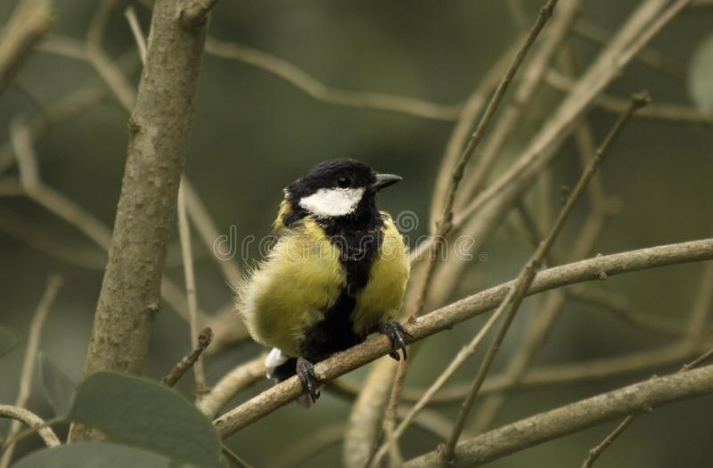 A bird, a yellow tit sat on branches. A bird, a yellow tit, a wild animal, flew in, a beak of a bird, claws of a bird, eyes like beads, animalism, fauna, a group royalty free stock image