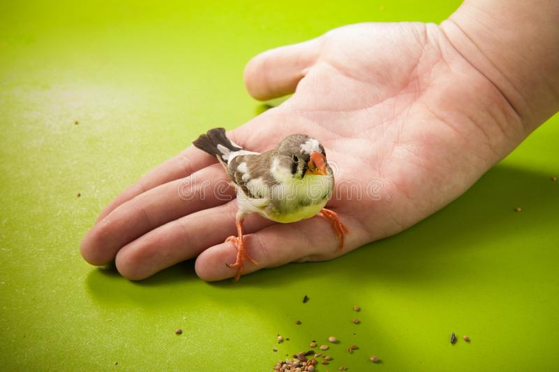 Bird zebra finch on hand near feed. Bird zebra finch on hand near to the scattered feed royalty free stock images