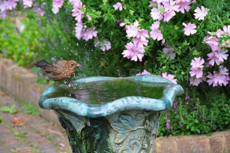 Birdbath splashing royalty free stock photos