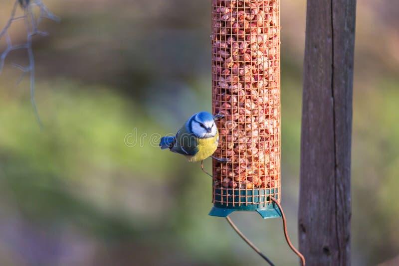 Download Birdfeeder с голубой синицей Стоковое Изображение - изображение насчитывающей sunlight, малюсенько: 81815021