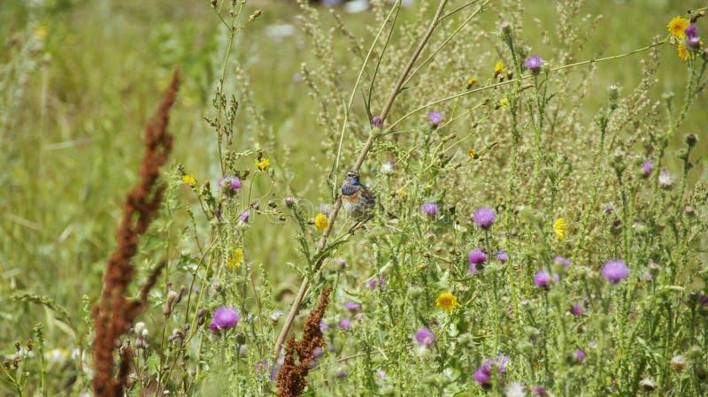 Birdie Bluethroat entre a grama fotografia de stock