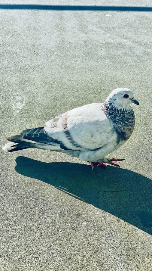Birdie imagens de stock