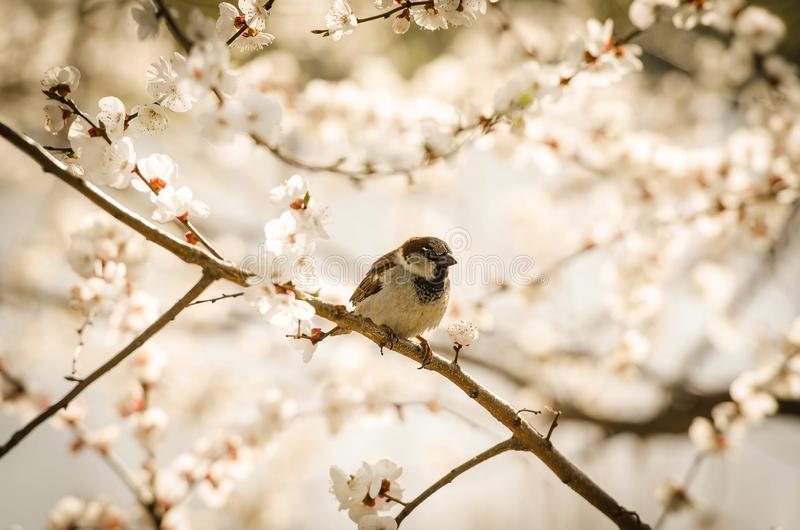Birdie - Sparrow on a sprig of a tree in spring royalty free stock photo