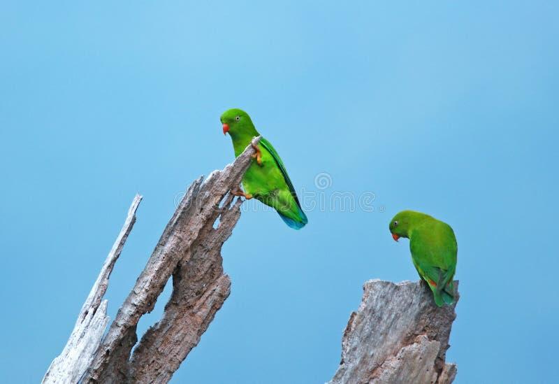 birdnem κρεμώντας παπαγάλος vernal στοκ εικόνα