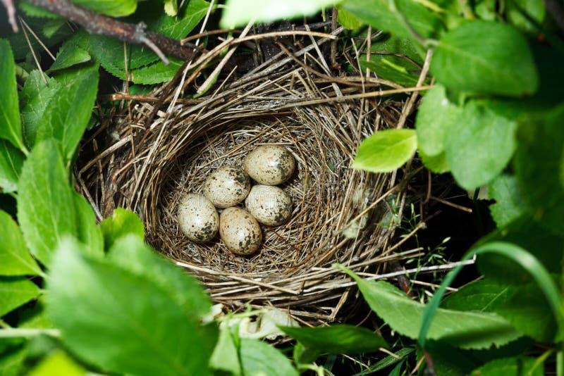 birdnest communis whitethroat sylvia стоковые фото