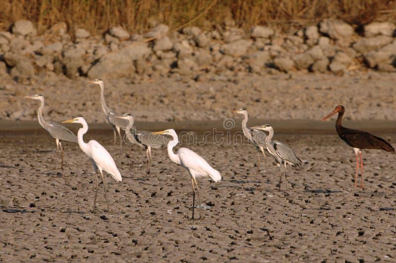 Birds. Ardea, stork and Platalea in Maagan Michael, Israel stock image