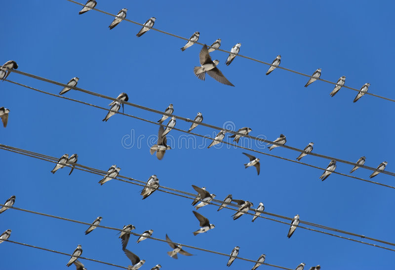 Birds. (martlet) sitting on electric wires royalty free stock photography