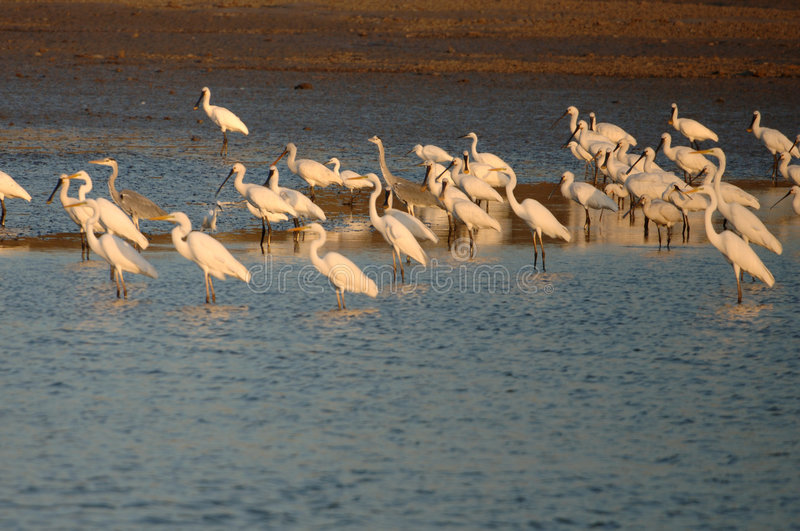 Birds. Plataleas and Ardeas in Maagan Michael, Israel stock images